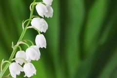Lily of the Valley. Stock Image