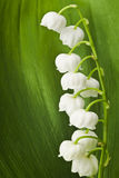 Lily of the valley on green leaf Royalty Free Stock Photos