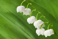 Lily of the valley on green leaf Stock Photography