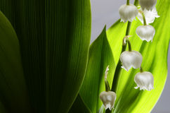 Lily of the valley and green leaves Royalty Free Stock Photos