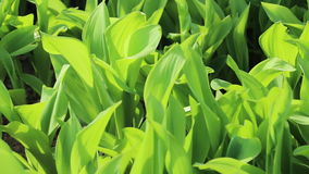 Lily of the valley green leaves on wind stock video