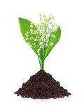Lily of the valley in ground isolated on white Stock Photo