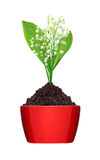 Lily of the valley in ground in red pot isolated on white Stock Photo
