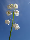 Lily of the valley inflorescence Royalty Free Stock Photography