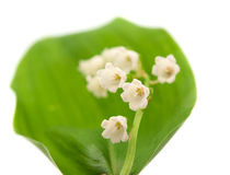 Lily of the valley isolated Stock Photo
