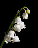 Lily of the Valley Isolated Stock Image
