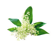 Lily-of-the-valley with isolated background Royalty Free Stock Photos