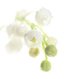 Lily of the valley, isolated on white Royalty Free Stock Photo