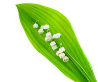 Lily of the valley isolated Stock Photography
