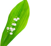 Lily of the valley isolated Royalty Free Stock Images