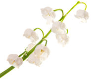 Lily of the valley isolated Royalty Free Stock Image