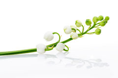 Lily of the valley. Isolated on white background Stock Image