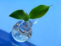 Lily of the valley - leaves over blue background Stock Photos