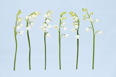 Lily of the Valley Royalty Free Stock Photography