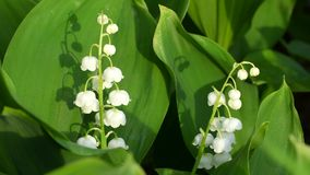 Lily of the Valley. Flowers stock footage
