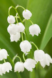 Lily of the valley Royalty Free Stock Photo