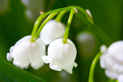 Lily-of-the-valley  macro flower Royalty Free Stock Images
