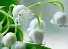 Lily-of-the-valley  macro flowers Royalty Free Stock Photo