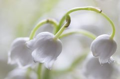Lily of the valley, macro shot. Lily of the valley flowers, macro studio shot Royalty Free Stock Image