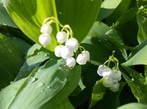 Lily of the valley in the morning sunlight stock image
