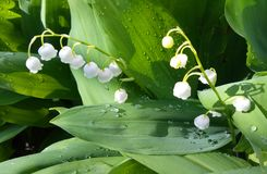 Lily of the valley in the morning sunlight stock photography