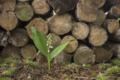 Lily of the valley near the woodpile. One lily of the valley grows near the woodpile Stock Photos