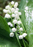Lily-of-the-valley over white Stock Image