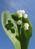 Lily of the valley royalty free stock image