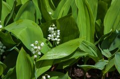 Lily of the Valley after the rain Royalty Free Stock Photo
