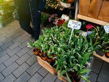 Convallaria majalis, Lily of the valley  at florist shop Stock Photos
