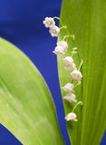 Lily of the valley, small depth of sharpness Stock Photography