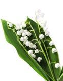 Lily-of-the-valley sopra bianco Immagini Stock Libere da Diritti