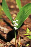 Lily of the valley in spring forest, Russia Stock Image