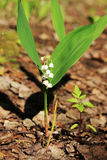 Lily of the valley in spring forest, Russia Royalty Free Stock Photo