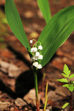 Lily of the valley in spring forest, Russia Stock Photos