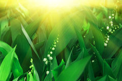 Lily of the valley and sun. Royalty Free Stock Photography
