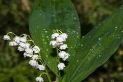 Lily of the Valley - the symbol of spring, warmth, purity and tenderness Stock Images
