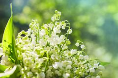 Lily of the valley, valley lily, Convallaria majalis stock images