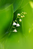 Lily of the valley. Vertically Stock Image