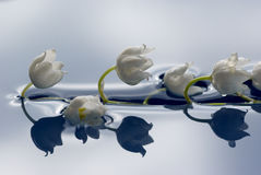 Lily of the valley in water. Lily of the valley floating in blue water. Shallow DOF (at edges of flowers Stock Image