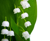 Lily-of-the-valley. With water drops isolated on white background. Convallaria majalis Royalty Free Stock Photo