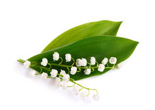 Lily of the valley. Stock Images
