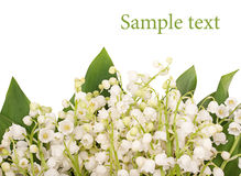 Lily of the valley on white background Stock Photography