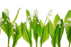 Lily of the valley. On white background Royalty Free Stock Photo
