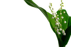 Lily of the valley on a white background with dew Stock Photo