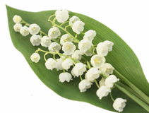 Lily of the valley on the white background Royalty Free Stock Photos