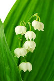 Lily of the Vally Royalty Free Stock Photography