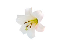 Lily varieties flowers Royalty Free Stock Image