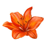Lily vector illustration  hand drawn  painted Stock Photography