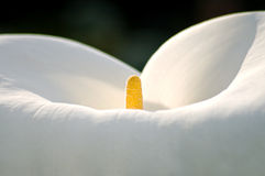 lily w środku Zdjęcie Royalty Free